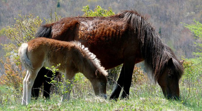 800px-Grayson_Highlands_Ponies-27527-1